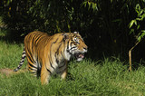 Bengal tiger on the prowl i poster