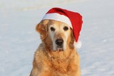 Golden retriever  like dog -santa claus , which bears presents  poster
