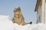 Striped cat climbed on a heap of snow in the street poster