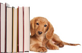 Fototapety Book end puppy