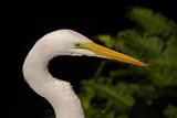 Closeup of white egret (egretta alba) poster