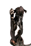 black dog waving paw poster