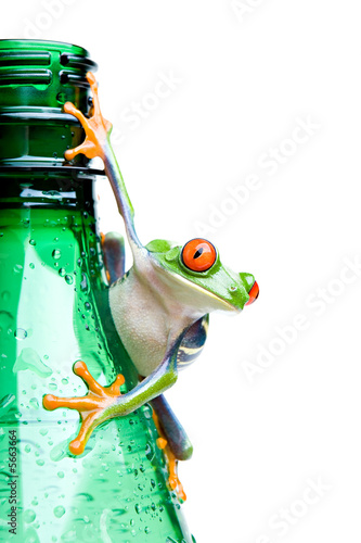frog on a bottle - a red-eyed tree frog isolated on white
