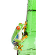 Leinwanddruck Bild red-eyed tree frog closeup isolated on a wet bottle
