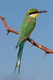 Swallow-tailed bee-eater (Merops hirundineus) poster