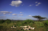 Bones of animals on the Masai Mara, Kenya, Africa. poster