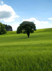 Lone tree in a green field, blue sky