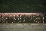 Hundreds of Flamingos on Lake Nakuru Kenya Africa. poster