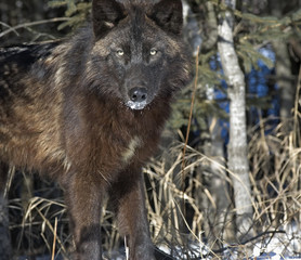 Black wolf glares at photographer from forest.