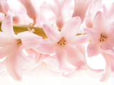 Close-up of hyacinth petals against white background - 5674277