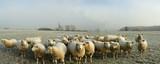 Fototapety moutons