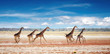 Quadro Herd of giraffes in african savanna, Etosha N.P., Namibia