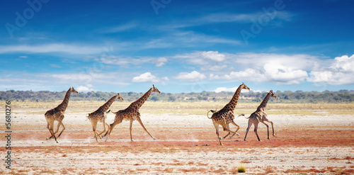 Herd of giraffes in african savanna, Etosha N.P., Namibia