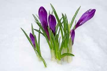 Spring flower in the snow