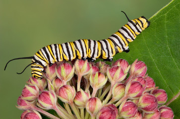 Monarch caterpillar on milkweed blossoms