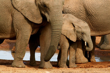 Group of elephants with baby at the watering hole