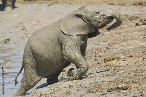 Baby elephant trying to climb out of the mud pit