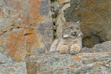 Young Canadian lynx on rocky ledge. Montana