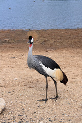 Crowned Crane Nature