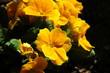 Primel gelbe Blume
