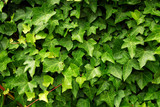 Abstract background of lush green ivy leaves poster
