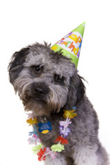 Cute dog in his birthday hat and lei