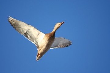 Soaring, female mallard