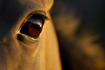 horse's eye at sunset