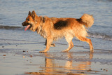Alsatian dog emerging from the sea on the beach poster