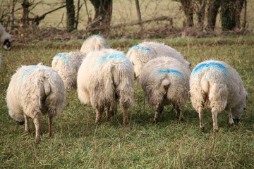 Sheep tails!
