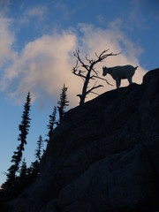 Mountain goat silhouette