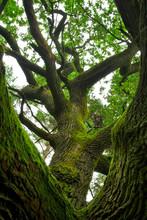 Branches moussues de chêne puissant.