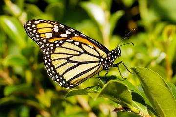 monarch butterfly 56.