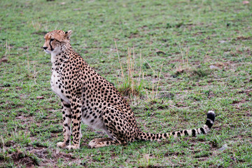 cheetah in the reserve