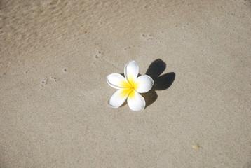 Fleur de frangipanier (île Maurice)