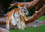 Scratching Tiger poster
