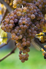 Grapes for Jurancon Wine