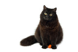 sitting cute black fluffy cat poster