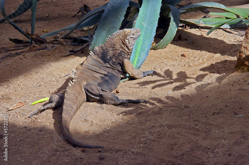 Shot of the grand cayman ground iguana