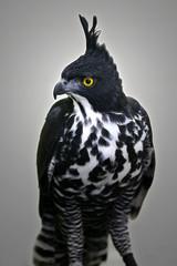 Myths Hawk Eagle