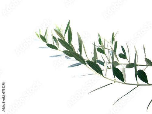 Papiers peints Oliviers rameau d'olivier