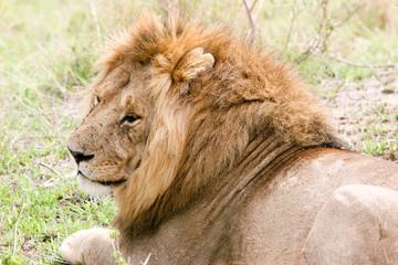 lion sleeping in the wild