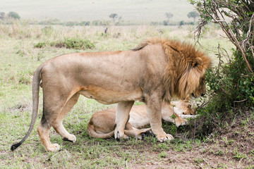 couple of lion in the wild