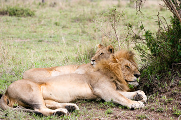 lions resting in the bush