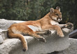 America Cougar Mountain Lion Resting on Rock