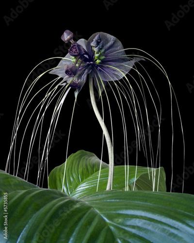 Plante chauve-souris - Fleur du diable fond noir