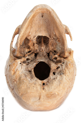 Real skull of human. Full Isolated. See portfolio for more.