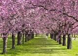 kirschblüte - 5736894