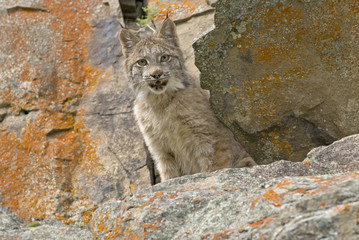 Canadian lynx on rock ledge. Photograaphed in Montana