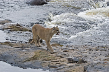 Cougar in Northern Minnesota river. Telephoto lens